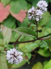 Menthe poivrée en fleur